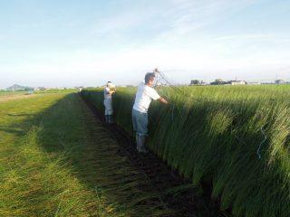 熊本・八代い草農家体験 ②