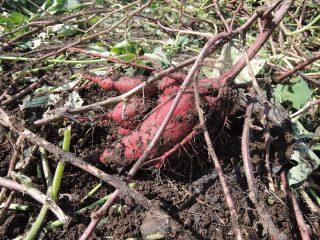 秋の味覚 サツマイモ堀り