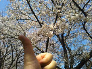 今年の桜①!
