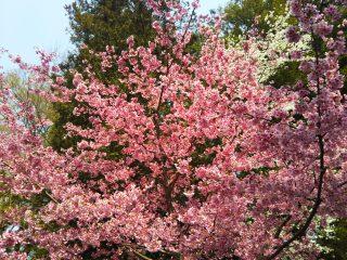 今年の桜②!